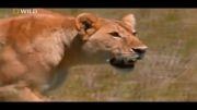 حمله خونین شیرها (18+)