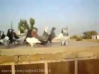 کبوتران بسیار زیبای افغانی