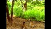شوخی میمون با ببردر جنگل