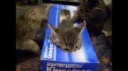گربه هایی كه جعبه دوست دارند!