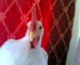 رقص مرغی