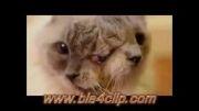 زندگی گربه دو سر