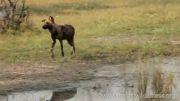 گراز خوری سگهای وحشی (خیلی وحشی)