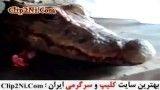 زنده بودن تمساح بعد از قطع کردن اندامش