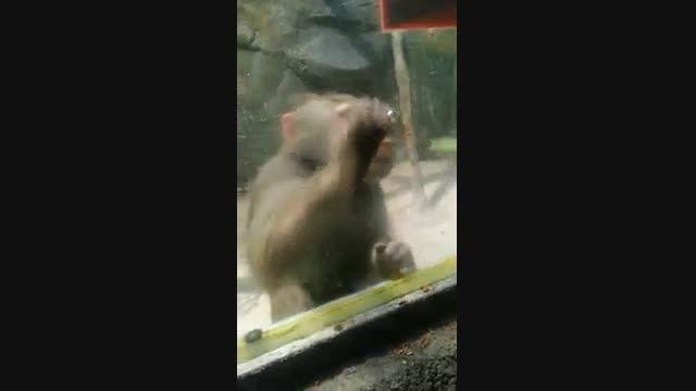 کار عجیب میمون بخاطر خوراکی