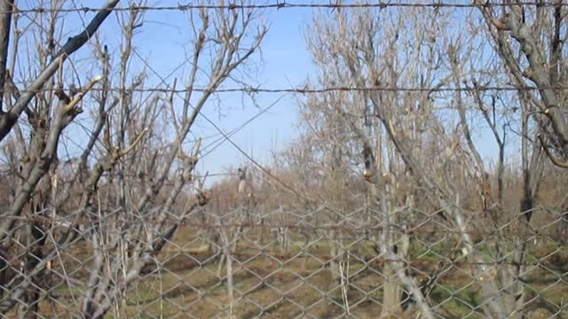 تیم هرس کار درختان میوه