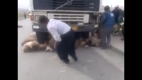 تصادف تریلی با گله گوسفند