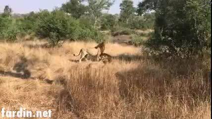 کشتن بچه شیر توسط 3 شیر نر ولگرد