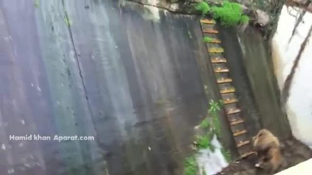 بالا رفتن شیر از پلّه