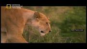 خطر نرهای ولگرد برای گله شیرها (دوبله فارسی)