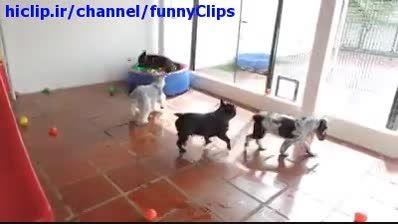 ذوق زدگی سگ