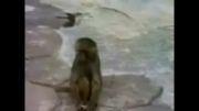 وقتی میمون خودشو توی آینه میبینه...