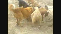 نامردی در حق گراز،نبرد چند سگ با بچه گراز