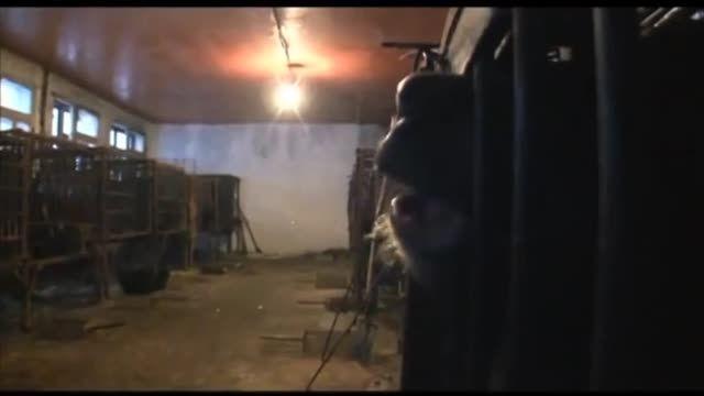 شکنجه ی خرس ها برای استخراج صفرا