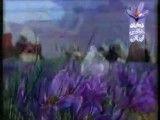كاشت و صادرات زعفران