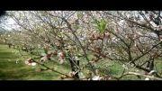تصاویر زیبا ی بهار ی در  روستای ارزنه