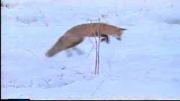 روش روباه برای شکار کردن در زمستان و برف