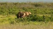 كشتن فیل 2 ساله توسط شیر جوان