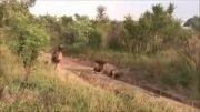 صحنه ای نادر در زندگی شیرها
