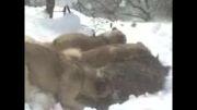 شکار گراز توسط سگها