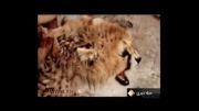 آخرین وضعیت یوزپلنگ ایرانی