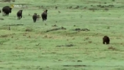 حمله خرس به بوفالوها
