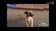 همراهی بیمار توسط سگ باوفایش تا بیمارستان