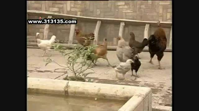 سمندون و خوردن تخم مرغ ها :)