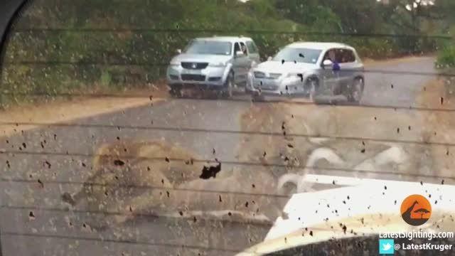 شکار شیرها در کنار گردشگران (فیلم)