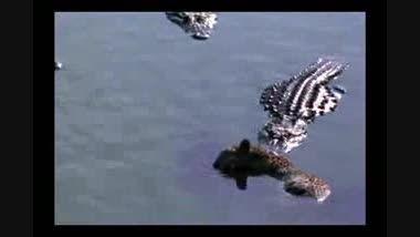 انتقام کروکودیلها از پلنگ بیچاره