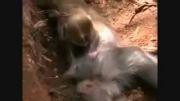 گریه بچه میمون بر جنازه مادرش