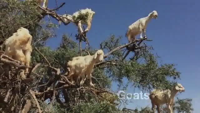 درخت بز در مراکش