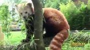 پاندای قرمز، نادرترین خرس جهان