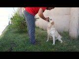 آموزش دست دادن به سگ ها