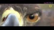 عقاب طلایی و شکار خرگوش صحرایی
