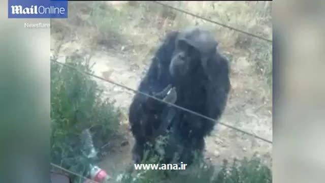 شامپانزه ای که مثل انسان سیگار می کشد!