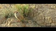 پرندگان وحشی اصفهان - کبک
