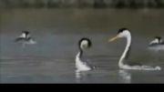 نحو خواستگاری و ازدواج پرندگان !