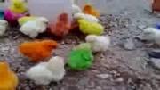 فروش جوجه رنگی