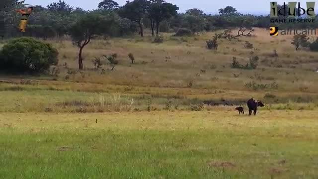 حمله بی رحمانه شیرها به بوفالو  تازه زایمان کرده!
