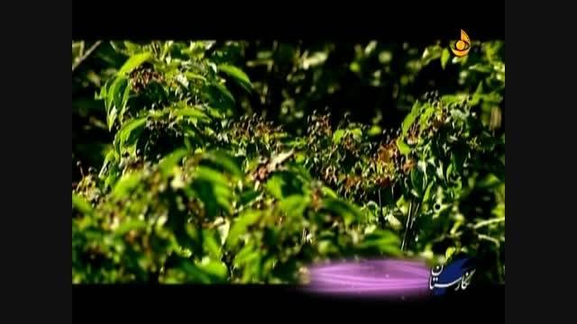 گیاهان داروی ایران در اذربایجان  آقطی سیاه چیست )2