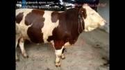 قیمت گاو شیری- گاو سمینتال-قیمت گاو شیرده-قیمت گاو
