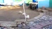 بازی خرگوش ها.حمله خروس به خرگوش