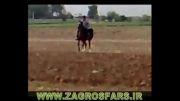 اسب مادیان دره شور (جمیله)