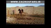 اسب دره شور تارا