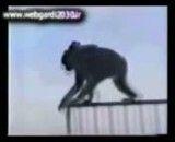 خودکشی بچه میمون جلوی چشم های مادرش