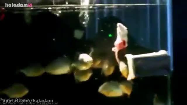 موشی که توسط ماهی ها تیکه تیکه و خورده میشه