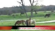 زندگی خانوادگی اسب ها