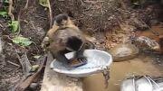 مهارت عجیب یک میمون در ظرف شستن