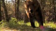 خرس گریزلی نیرومندترین درنده( نظر نشنال ژئوگرافیک )